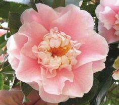Camellia 'C. M. Wilson'
