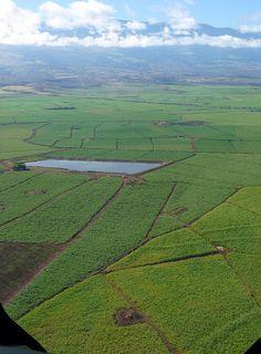 Maui Sugar Cane Fields | sugar cane | Flickr - Photo Sharing!