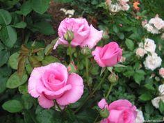 'The McCartney Rose ' Rose Photo
