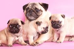 My sister sent this to me: Pugs celebrating mother's day with their mama!