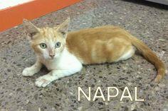 Gatito Napal, 3meses en adopción. en Alacant - vibbo - 93309675