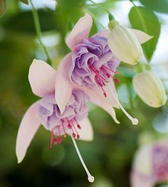 Fuchsia -Blush of Dawn bears gorgeous double pink and silvery-lavender flowers. It trails to 18 inches and grows 24 inches wide. Zones 8-10