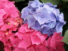 flower, petal, growth, beauty in nature, fragility, nature, flower head, blooming, freshness, plant, hydrangea, day, outdoors, no people, close-up, pink color, periwinkle, petunia