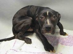 ●5•16•16 STILL THERE●BROOKLYN Center BORIS – A1072936 MALE, BLACK / WHITE, AM PIT BULL TER, 6 mos OWNER SUR – EVALUATE, NO HOLD Reason TOO MANY P Intake condition EXAM REQ Intake Date 05/09/2016, From OUT OF NYC, DueOut Date 05/09/2016, I came in with Group/Litter #K16-056547. Urgent Pets on Death Row, Inc