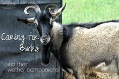 This time of year -- smack in the middle of breeding season and kidding season -- is filled with anticipation for those of us raising dairy goats. I'm counting down the days until the first kids arrive (and feeling their momma's tummies). While I wait, let's talk about the other half of the baby goat equation: the daddy goat.   TraditionalCookingSchool.com