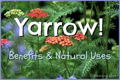 Yarrow Plant - Its Many Benefits and Natural Uses; Yarrow, or Achillea millefolium, has been used as natural medicine since Roman times when Achilles used it to give his troops strength and aid in wound recovery Healing Herbs, Medicinal Plants, Natural Healing, Natural Medicine, Herbal Medicine, Permaculture, Yarrow Plant, Edible Wild Plants, Wild Edibles