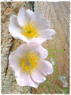 Strukturfoto: Vier mal Wilde Rose
