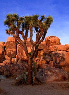 Sundown Joshua Tree