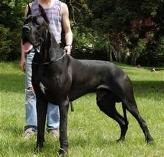 World's Tallest Dog - Bing images Big Dogs, Large Dogs, World's Tallest Dog, Worlds Biggest Dog, Big Dog Breeds, Black Picture, My Images, Bing Images, More Pictures
