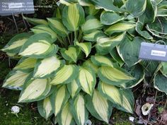 Full size picture of Hosta 'Fantasy Island'