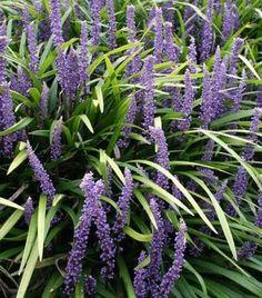 onderhoudsarme vaste planten voor je tuin  Leliegras  Een late bloeier die voor kleur zorgt alsl veel planten al zijn uitgebloeid