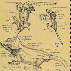 Crested gecko anatomy