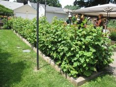 Thinking of planting a raspberry hedge along the backside of our yard. Garden Gates, Herb Garden, Garden Plants, Growing Raspberries, Backyard Patio, Backyard Ideas, Garden Ideas, Garden Photos, Companion Planting