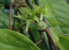 Passiflora juliana
