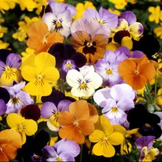 Viola, 'Four Seasons Formula Mixed', F1 Hybrid Seeds £3.68 from Chiltern Seeds - Chiltern Seeds Secure Online Seed Catalogue and Shop