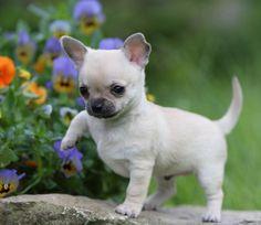 Beautiful Chihuahua Chubby Adorable Dog - 63b2465da7fe2582999e51d40c4199a9--chihuahua-puppy  Perfect Image Reference_191762  .jpg