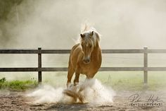 Haflinger-- Exactly what I want for myself when I have my own place