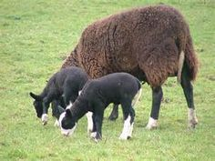 balwen welsh mountain sheep - Bing Images Pet Sheep, Baa Baa Black Sheep, Sheep And Lamb, Lambs, Livestock, Welsh, Cowboys, Goats, Bing Images