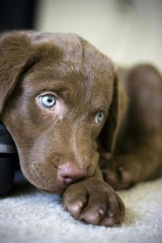 Beautiful Dogs, Animals Beautiful, Cute Baby Animals, Funny Animals, Pet Dogs, Dog Cat, Doggies, Labrador Puppies, Corgi Puppies
