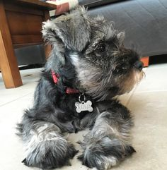 Happy Wednesday furiends, I hope everyone is having a lovely week.  #cute #cutepuppy #puppy #puppies #puppiesofinstagram #instapup #puppylove #dog #dogs #cutedog #dogsofinstagram #dogoftheday #ilovemydog #schnauzer #furbaby #schnauzers #schnauzerlove #schnauzerchallenge #schnauzerpuppy #schnauzersofinstagram #minischnauzer #miniatureschnauzer #saltandpepperschnauzer #ilovemyschnauzer #arlotheschnauzer #puppyeyes #puppyface #wednesday #humpday