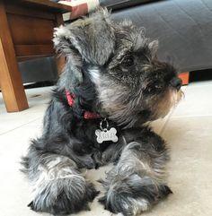 Happy Wednesday furiends, I hope everyone is having a lovely week.  #cute #cutepuppy #puppy #puppies #puppiesofinstagram #instapup #puppylove #dog #dogs #cutedog #dogsofinstagram #dogoftheday #ilovemydog #schnauzer #furbaby #schnauzers #schnauzerlove #schnauzerchallenge #schnauzerpuppy #schnauzersofinstagram #minischnauzer #miniatureschnauzer #saltandpepperschnauzer #ilovemyschnauzer #arlotheschnauzer #puppyeyes #puppyface #wednesday #humpday