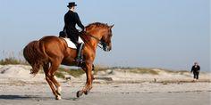 Irish Draught stallion