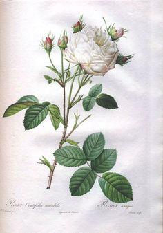 (Original as re-pinned)  Botanical - Flower - Les Roses 19