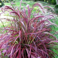 Ornamental Grass Landscape, Ornamental Grasses, Red Fountain Grass, Pennisetum Setaceum, Best Air Purifying Plants, Seaside Garden, Gothic Garden, Lavender Garden, Border Plants