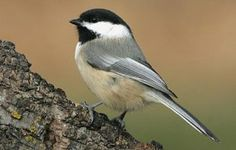 Black Capped Chickadee. Mom & Dad set up in my bird house last summer & had one chick that I seen!