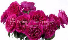 Classical English roses: David Austin Roses. Kate