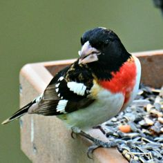 Attracting Rose-breasted Grosbeaks is easy!  Find out here.....http://abirdsdelight.com/attracting-rose-breasted-grosbeaks  #grosbeaks #birdwatching