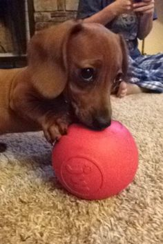 Baby Dachshund; dog, puppy. [spam check ok ;) Mo] ...........click here to find out more http://googydog.com