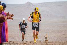 O cão adorável correu ao lado dos concorrentes em cada quatro da raça seis estágio, apesar...
