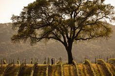 The famous old oak atop the hill at BR Cohn Winery T.J. Salsman Photography - Napa Valley Wedding, elopement, and portrait photographer