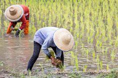 Výsledek obrázku pro planting rice