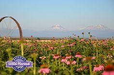 Oregon's Wild Harvest 2015 Organic Echinacea Fields (Echinacea purpurea) #culveroregon #organicherbs #biodynamic #nongmo  #organicEchinacea