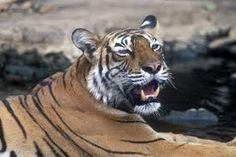 Ranthambore national park in India.
