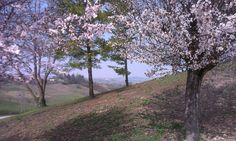 An ordinary Monferrato Blossoming. Time to bottle the wine