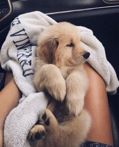 The most adorable golden retriever puppy going home for the first time. Cute Little Animals, Cute Funny Animals, Cute Dogs And Puppies, I Love Dogs, Doggies, Cutest Dogs, Teacup Chihuahua Puppies, Tiny Puppies, Pomeranian Puppy