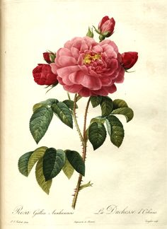 Rosa gallica aurelianensis (Rosa 'La Duchesse d'Orléans'), a painted engraving of a rose by Pierre-Joseph Redouté (1759–1840).