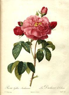 """Pierre Joseph Redouté (1759-1840) ~ Rosa Gallica A., """"La Duchesse d'Orleans"""""""