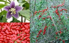 Lycium Barbabarum Goji Wolf Berry Seeds