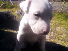 Ver Fotos De Cachorros Pit Bull Pit Bull, Cute Puppies, Dogs, Animals, Doggies, Pitbull, Animales, Animaux, Pet Dogs
