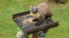 Scottish wildlife: Scotland's Best B&Bs: 4 & 5 star accommodation #scotland #wildlife #scottish #animals #pinemartin