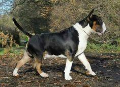 Handsome doggo! Mans Best Friend, Best Friends, Chien Bull Terrier, English Bull Terriers, Animal Drawings, Boston Terrier, Cute Dogs, Pitbulls, Bullies