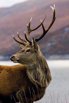 Highland Red Deer Stag