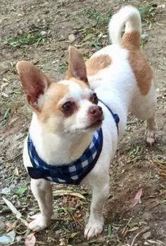 Chihuahua dog for Adoption in San Diego, CA. ADN-593144 on PuppyFinder.com Gender: Male. Age: Adult