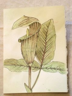 Woodland flower Jack-in-the-Pulpit is a botanical   watercolor nature art blank card original,check it out. The colors are soft aged greens burgundy and sage.  This watercolor, reminds me of my walks in the woods where I would discover these wildflowers growing wild. I love discovering nature. This  nature  art card is blank inside ready for your notes.  Artwork Title: Jack-in-the-Pulpit Card size: 5 x 7 inches Medium: Windsor and Newton Artist Quality Watercolors on 140lb Strathmore cream…