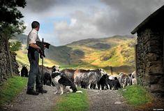 Shepherd with Herdwick sheep // Photographs celebrate Lake District rare breed sheep   BBC
