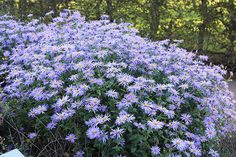 Buy aster Aster × frikartii 'Monch': Delivery by Waitrose Garden in association with Crocus